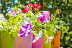 Bright summer flowers in colorful flowerpots, backlit Royalty Free Stock Photos