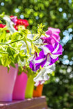 Bright summer flowers in colorful flowerpots backlit, close up Stock Images