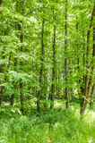 Bright summer forest Royalty Free Stock Image