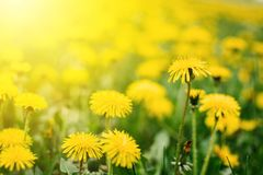 Bright  summer horizontal background, banner. Dandelions with sunlight on green grass. Green field with yellow dandelions. Closeup royalty free stock images