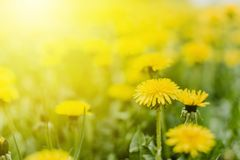 Bright  summer horizontal background, banner. Dandelions with sunlight on green grass. Green field with yellow dandelions. Closeup stock photography