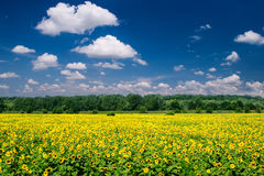 Bright summer landscape. sunflower field Royalty Free Stock Photos