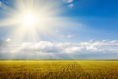 Bright summer landscape. wheat field and sun Royalty Free Stock Photos