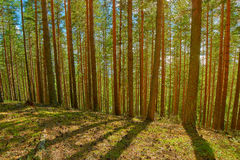 Bright Summer Pine Forest in Karelia Royalty Free Stock Photos