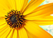 Bright summer sunflower. Just a decorative sunflower flower in bright yellow and orange colors with black heart Royalty Free Stock Image