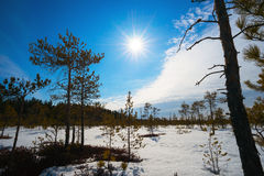 Bright sun above the swamp in winter, with low pine trees. Stock Photos