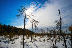Bright sun above the swamp in winter, with low pine trees. Stock Image