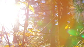 Bright Sun in the Autumn Forest. Autumn forest. The bright sun shines through the cobwebs, orange foliage and tree trunks. Original lens flare stock video footage