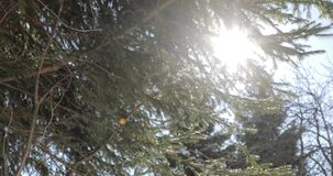 Bright sun behind the branches of spruce in winter.  stock video footage
