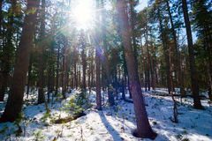 The bright sun among cedars in the winter forest. Royalty Free Stock Images