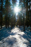 The bright sun among cedars in the winter forest. Royalty Free Stock Photos