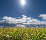 Bright Sun and Clouds over Corn Field. A Very bright sun shining over a corn field with a beautiful blue clouded sky Stock Images