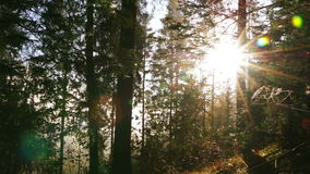 Bright Sun in the Dense Forest. Early morning. Bright sun rays break through the thick spruce branches. Lens flare stock footage