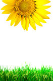 Bright  sun flower with green grass Royalty Free Stock Photography