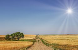 Bright sun ove ragricultural summer landscape. Three leafy green trees beside a narrow dirt road dividing golden wheat fields in a summer farming prairie Stock Photo