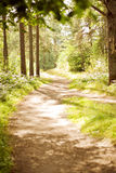 Bright sun path in the woods in summer Stock Photography