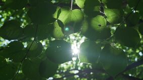 Bright sun ray illuminating through green poplar tree leaves at hot summer day.