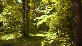 Bright sun rays illuminate tall trees. Whose tops extend to the sky stock video