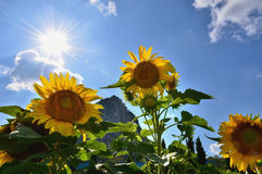 Bright Sun Shines Through the Petals of Beautiful Sunflower Against a Blue Sky Stock Images