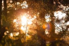 Bright sun shining through coniferous branches in forest royalty free stock images