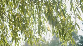Bright sun shining over green willow leaves on a beautiful warm autumn morning -. Bright sun shining over green willow leaves on a beautiful warm autumn morning stock footage