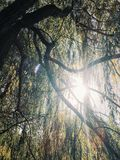 Bright sun shining through the weeping willow tree Stock Photography
