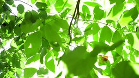 Bright sun Sunny day through tree branches. Foliage in the garden. cherry and walnut tree stock footage