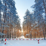 Bright sun in  winter forest with trees covered with hoarfros Royalty Free Stock Photo