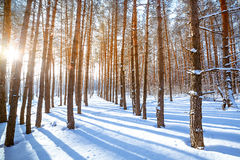 Bright sun in  winter forest with trees covered with hoarfros Royalty Free Stock Photography