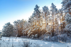 Bright sun in the winter forest with trees hoarfros Royalty Free Stock Photo