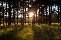 Bright sunbeams through pine trees in forest Stock Image