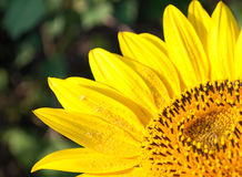 Bright sunflower Stock Images