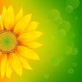 Bright Sunflower Stock Photography