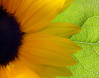 Bright Sunflower. Background royalty free stock photo