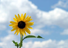 Bright Sunflower. A bright yellow sunflower against a blue, cloudy sky Stock Photos