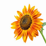 Bright sunflower. Bright yellow and orange sunflower head - isolated Royalty Free Stock Image