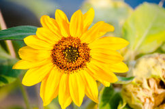Bright sunflower Royalty Free Stock Photography