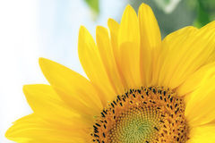 Bright Sunflower. Close-up of sunflower - half of flower showing Royalty Free Stock Photos
