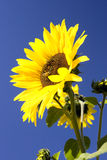 Bright sunflower against a blue sky. Royalty Free Stock Image
