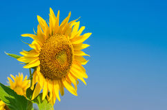 Bright sunflower against the blue sky, free space. Royalty Free Stock Photo