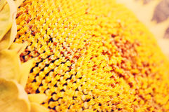 Bright sunflower, artistic image Royalty Free Stock Photos