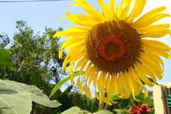 Bright Sunflower. Sunflower with blue sky background Stock Photos