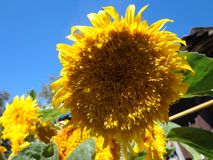 Bright Sunflower blue sky. Beautiful Bright Sunflower blue sky, summer day, nature Stock Images