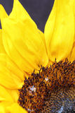 Bright sunflower close up on a dark background. Sunflowers radiant warmth with a dark background. Sunflowers close up are the happiest of all flowers and their Royalty Free Stock Photos