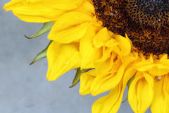 Bright sunflower close up on a light background Royalty Free Stock Photos