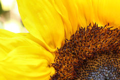 Bright sunflower close up on a light background. Sunflowers radiant warmth with a light background. Sunflowers close up are the happiest of all flowers and their Royalty Free Stock Images
