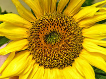 Bright Sunflower Stock Photo