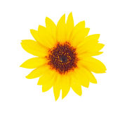 Bright sunflower with drops dews Stock Photo