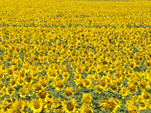 Bright Sunflower field background. Photo Stock Photography