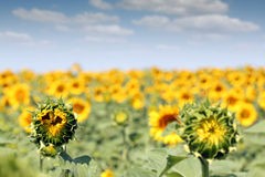 Bright sunflower field Stock Images